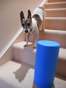 jack russell terrier and foam roller